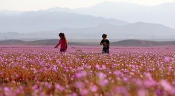 """CH06. VALLENAR (CHILE), 25/10/2015.- Fotografía del 21 de octubre de 2015 del árido desierto de Chile que cada cinco o siete años se transforma en una alfombra de flores de color malva pero las abundantes precipitaciones que han mojado la hostil tierra norteña del país estos últimos meses, han propiciado el """"florecimiento más espectacular de los últimos 18 años"""", en la región de Atacama, localidad distante a 750 kilómetros al norte de Santiago (Chile). EFE/Mario Ruiz"""